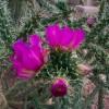 cholla-cactus-458076_1280