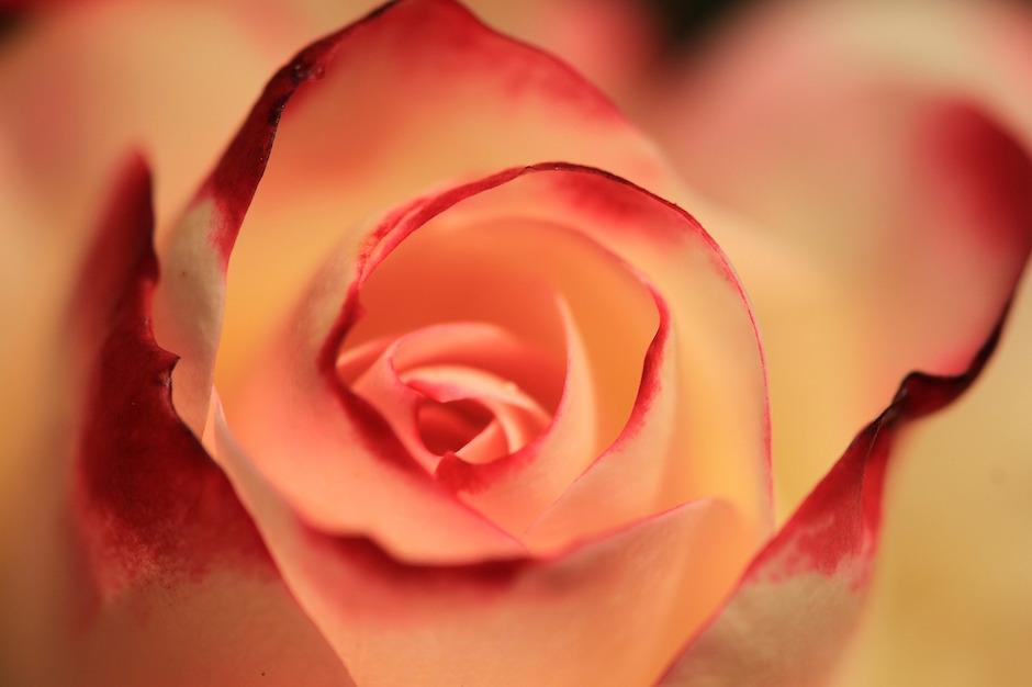 rose empty nameless love