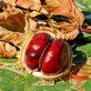 640x624-chestnut-2740751_1280