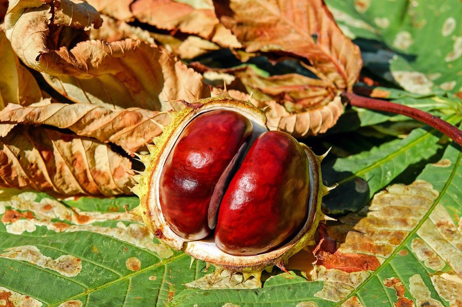 chestnut jewel in treasure