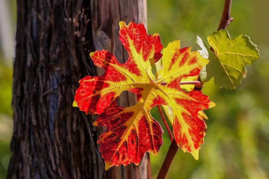 wine leaf never apart