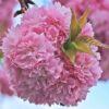 japanese-cherry-blossom-1350954_640