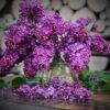 lilac-1689088_640