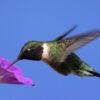 hummingbird residing present moment shukman